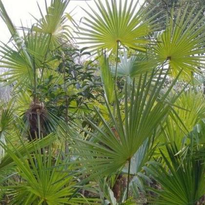棕榈 棕树 棕榈树苗 庭院绿化树苗 大小规格齐全