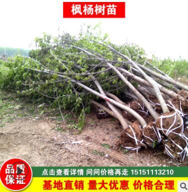 基地直销枫杨树 枫杨树3-30公分 规格齐全
