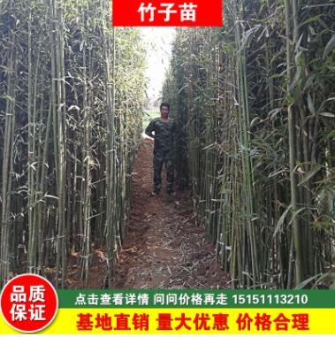 四季常青早园竹产地直销绿化工程青竹苗