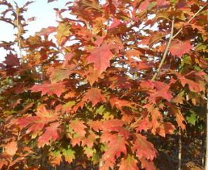 批发供应沼生栎种子 沼生红栎种子 发芽率高 生长快 量大从优