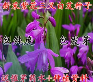 新采药材种子白芨种子正品紫花白芨种子 蜀妙三叉白芨种子