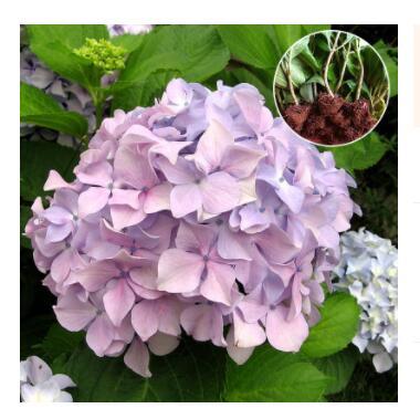 基地直销 庭院绿化植物八仙花绣球小苗多颜色 无尽夏绣球花苗批发