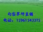 低价卖天堂,百慕大草坪,百慕大与黑麦草混播草坪,四季青草坪