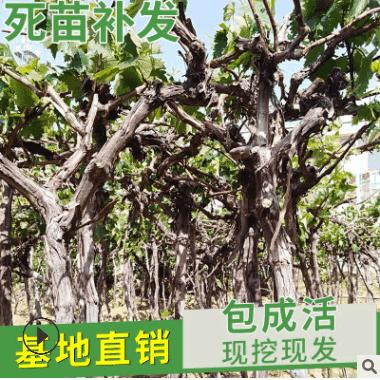 批发葡萄小苗各类果树苗品种齐全 庭院盆栽南方北方地栽种植