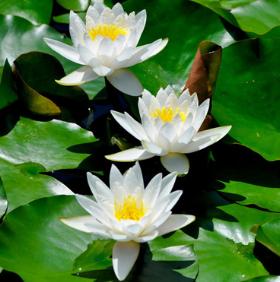 水生花卉池塘/碗莲 睡莲种根 等段 盆栽植物迷你睡莲根块