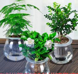 批发零售 室内办公室内绿植盆栽花卉绿萝发财树水培带盆 桌面植物