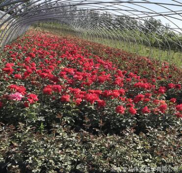 基地月季花 欧月藤本月季 爬藤月季庭院蔷薇玫瑰盆栽花卉月季花卉