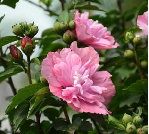 【大毅苗木】供应各种苗木 基地直销 优质 木槿花