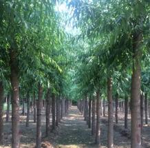 辽宁旱柳 移植旱柳 河北旱柳苗木基地专业供应6-25公分旱柳