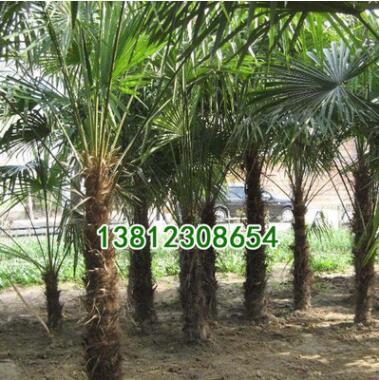 基地批发绿化苗木 棕榈小苗 棕榈 园林绿化苗木 规格齐全