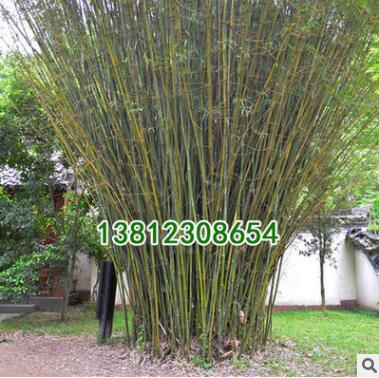 竹子植物盆栽小景观米竹慈孝竹子苗观音节节高四季常青室内凤尾竹