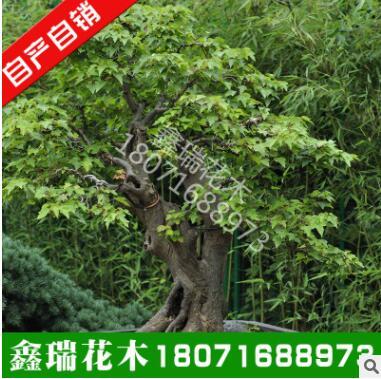新采成熟三角枫种子 优质三角枫树种