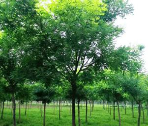 基地直销园林工程绿化苗木 金枝槐 金叶槐国槐市政园林景观防护树