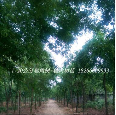 皂角树苗出售1-8公分规格齐全皂角树 道路绿化树木 皂角树苗批发