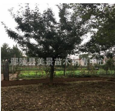 皂角皂荚苗圃直销价格便宜树形优美成活率高规格齐全绿化苗木