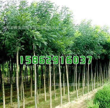 绿化苗木批发 臭椿小苗 规格齐全 臭椿苗 绿化环境