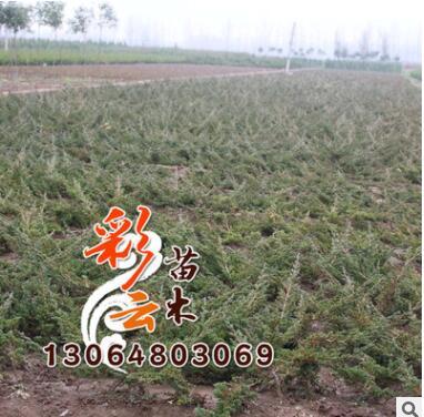 地柏小苗批发 高30cm 量大优惠 地柏 地被绿化