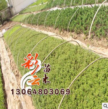 基地批发 迎春床苗批发 量大优惠 地被绿化