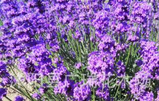 批发薰衣草种子 观花植物 当年新草花种子 可盆栽薰衣草种子
