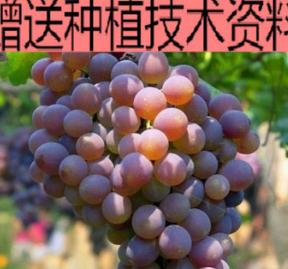 玫瑰香葡萄 盆栽 葡萄