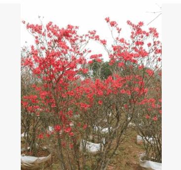 批发丛生映山红杜鹃 移栽映山红树桩 映山红小苗大量