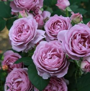 欧月进口日月季 蓝色风暴 灌木月季 淡香型蓝色月季玫瑰花苗