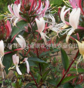 厂家直销供应优质红色五彩金银花盆景 观赏常绿性四季金银花盆景