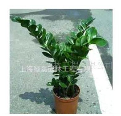 植物租赁 花卉租赁 绿植租赁 购买金钱树