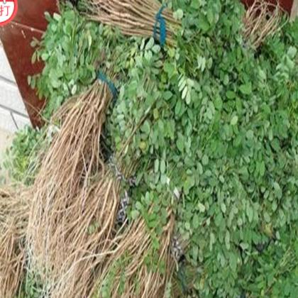 直销紫穗槐苗木 护堤绿化 林木防护用苗 苗壮易成活 量大从优 单品主打