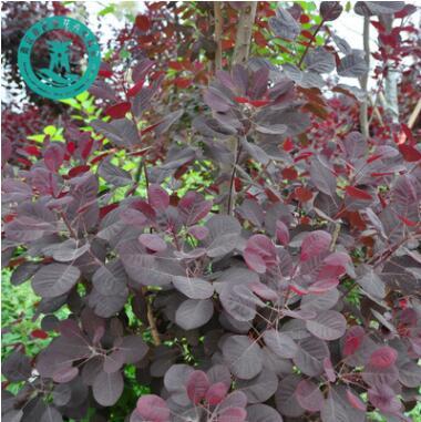 美国红栌 优质园林绿化行道树 规格全 大量供应 红栌苗乔木花灌木