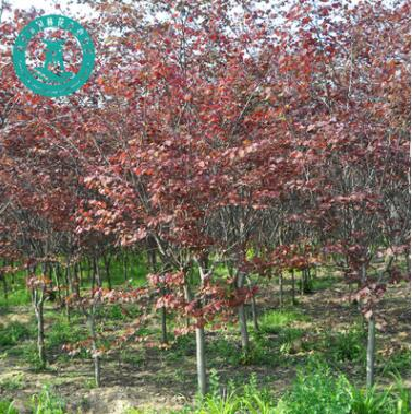 紫叶紫荆加拿大品种品种优良观赏性高观花观形状园艺绿化造景