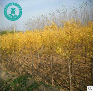 金枝国槐 黄金槐 供应各种工程苗木 各种规格 基地直销
