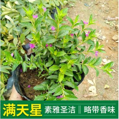 基地供应绿化苗木满天星 满天星袋苗 常年供应地被满天星