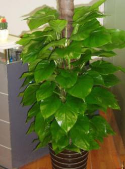 轩都 大绿萝盆栽 室内 大型盆栽植物 办公室盆栽花卉 大绿植盆栽