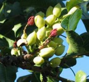 果树苗 开心果树苗绿仁开心果苗南北方种植盆栽水果树苗当年结果