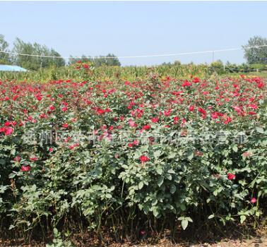 批发红帽月季花苗阳台绿植屋内装饰盆栽量大从优红帽大花月季