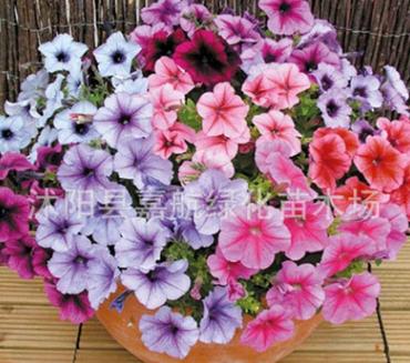 进口花卉 矮牵牛花种子 四季宜种耐寒易发芽花卉种子盆栽植物花卉