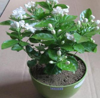 批发,盆栽茉莉花绿植 四季陆续开花 白色茉莉花苗 浓香植物