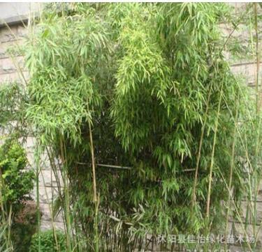 早园竹 早园竹小苗 早园竹子 早园竹工程苗 园林绿化竹子 观赏竹
