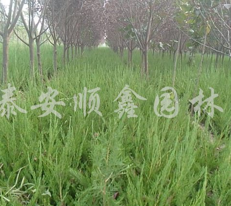 供应丛生蒙古栎、丛生朴树、丛生五角枫、丛生木槿
