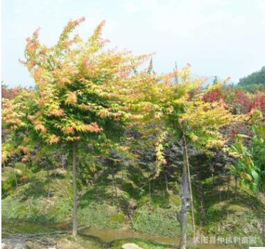 批发精品黄枫树苗金陵黄金枫树苗易存活观叶时期长造型树黄金枫苗