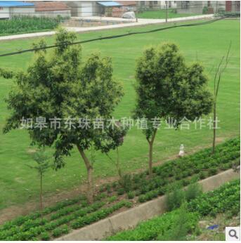 东珠苗木道路绿化花树花草植物修整养护草坪草皮铺设净化空气灌木