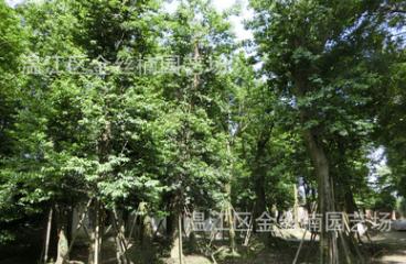 四川成都红果冬青价格 温江红果冬青批发 成都珊瑚冬青大树