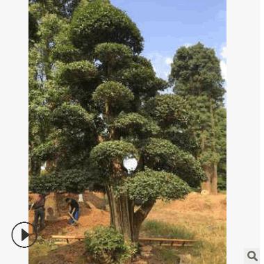 批发椤木石楠 庭院精品造型树木市园林工程绿化苗木 苗圃基地直