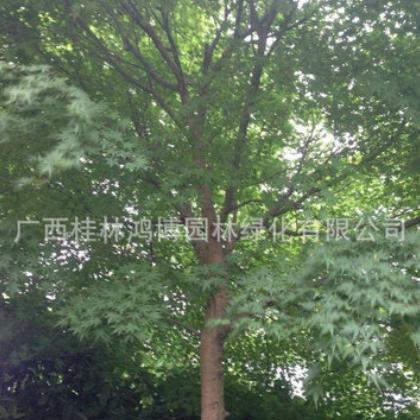 农家直销青枫 青枫树苗 工程绿化苗木青枫 适合种植