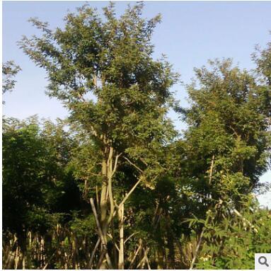 新旺绿化木苗直销多花风铃木绿化工程乔木 行道树风景园林植物
