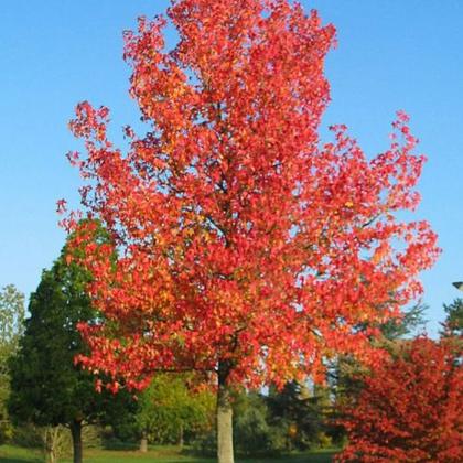 盛世美景苗木 北美枫香童话树 行道树乔木 长期供应 树型优美 园林绿化植物