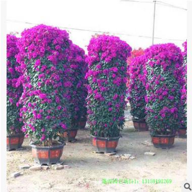 造型三角梅花柱 三角梅桩景 多种规格花色 工程绿化苗 产地直销