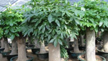 供应25公分直径发财树盆景