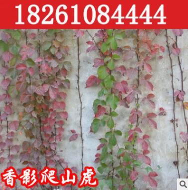四季攀缘植物 爬山虎苗 美国地锦 五叶地锦 庭院爬墙爬藤蔓爬类